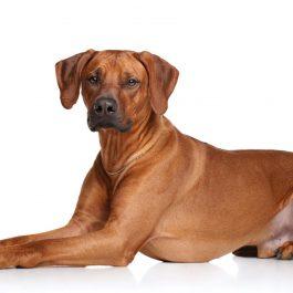 Een pronkrug puppie